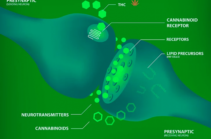 Endocannabinoid System Discovery